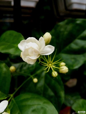还是那朵美丽的茉莉花