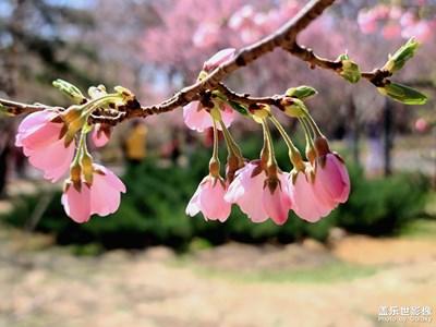 【春花烂漫】+樱花初开