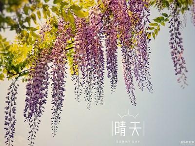【春日丽影】+梦幻紫藤