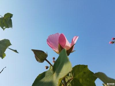 【身边的美好】+湖畔的木芙蓉