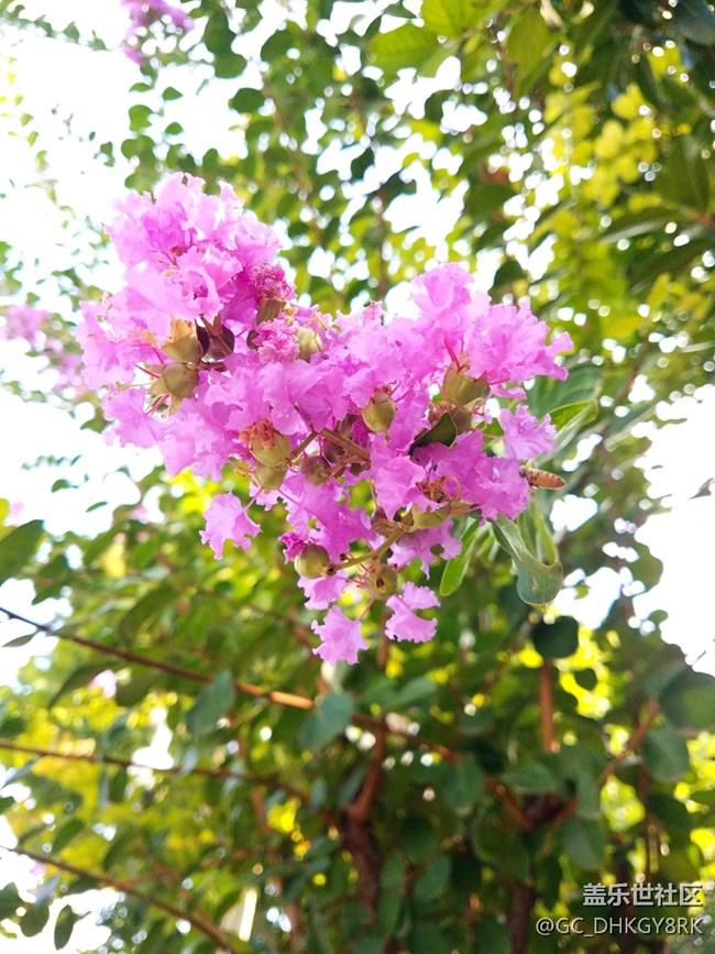 市容绿植--紫薇