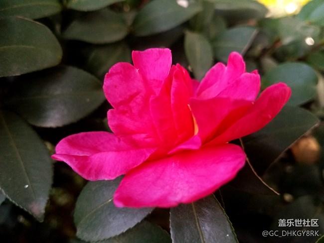 秋日的茶花