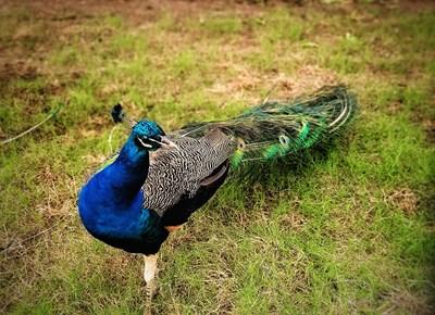 【神奇的动物】+骄傲的孔雀
