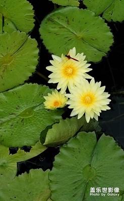 莲花朵朵(2)